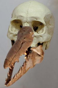 Close-up of one of the skulls uncovered near Dover. Is it Regan? Is it Goneril?